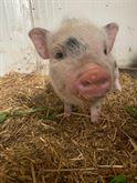 Micro Pig, Maialino Vietnamita