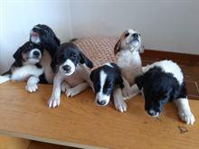 Cuccioli in regalo cerca famiglia