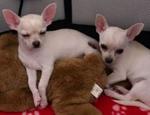 Cuccioli di chihuahua eccellenti sia maschi che femmine