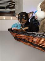Cucciolo Maschio di Chihuahua a Pelo Corto