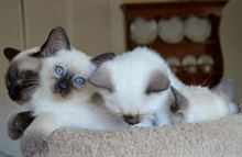 Siamese Thai Seal / Blu - con Pedigree e Microchip