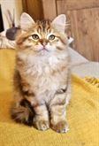 Gattini siberiani ipoallergenici con pedigree ANFI