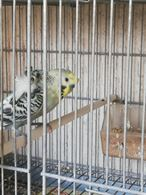 Papagalli - Documenti CITES ok