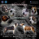 American Staffordshire Terrier - Cuccioli Amstaff