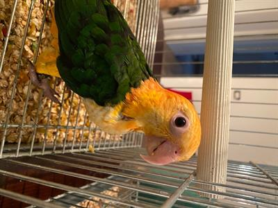 Cedo pappagalli baby