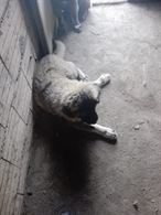 Cucciolo caucaso nato a fine febbraio
