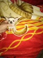 Chihuahua toy - foto reali