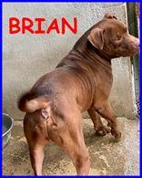 Brian bellissimo pitbullino 4 anni cerca amico umano esperto