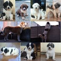 Disponibili cuccioli Pastore dell'Asia Centrale