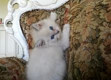 Splendidi gattini Ragdoll