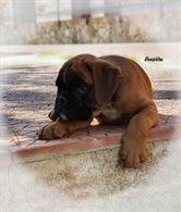 Cucciolo Boxer di Alta Genealogia