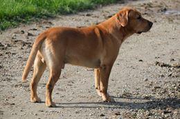 Regalo Labrador