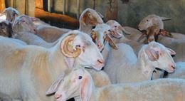 Qualità con agnelle/pecore ASSAF