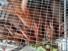 Conigli di razza Lepre berga