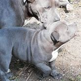 American bully cuccioli disponibili