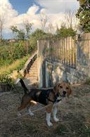 Beagle zona Portuense