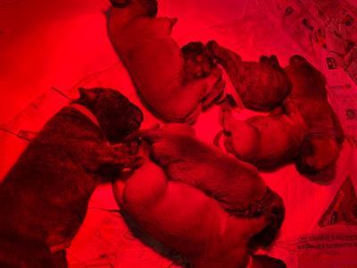 Cuccioli di mullmastiff