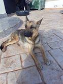 REGALO bellissimi cuccioli pastore tedesco