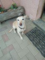 Regalo affettuoso cane da caccia siciliano