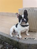 Bulldog francese maschio con pedigree ENCI