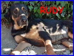 Rudy mix pastore tedesco labrador 5 anni buono
