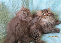 Favolosi Cuccioli Persiani