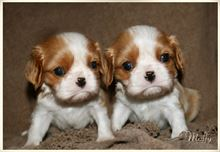 Disponibili cuccioli di Cavalier king charles
