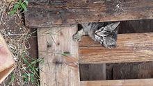 Gattini tigrati regalo