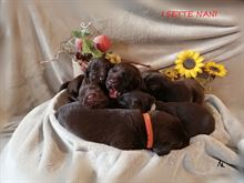 Cuccioli labrador retriever cioccolato