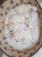 Disponibili cuccioli di maltese