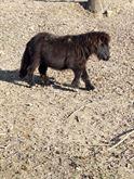 Mini Shetland Maschio