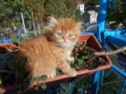 Cucciolo Persiano Rosso