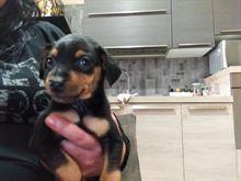Cuccioli di Pincher toy nero focato nati 11/09