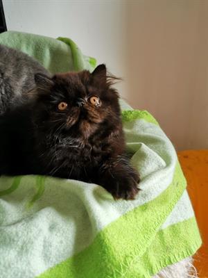 Cucciolo Persiano Black