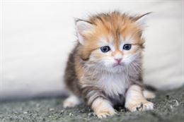 Splendidi Cuccioli Gatto Siberiano Disponibili