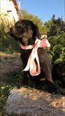 Magnifici cuccioli Labrador Retriever di alta genealogia