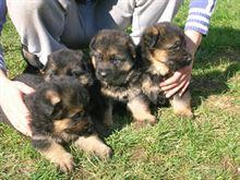 Super cuccioli di pastore tedesco