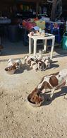 Cuccioli per addestramento tartufo