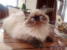 Gattina persiana molto bella già vaccinata