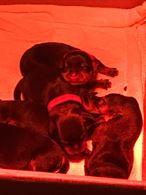 Stupendi Cuccioli Rottweiler
