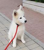 Samoyed cucciolo cane maschio con pedigree 3 mesi mezzo