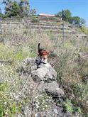 Beagle bassotto di 4 anni cerca cagnolina per accoppiarsi