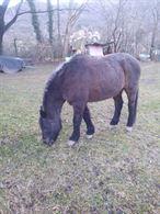 Cavallo Argentino di 7 anni