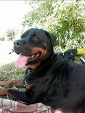 Cuccioli Rottweiler in Arrivo