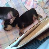 4 cuccioli di chiesta 3 femmine e 1 maschio