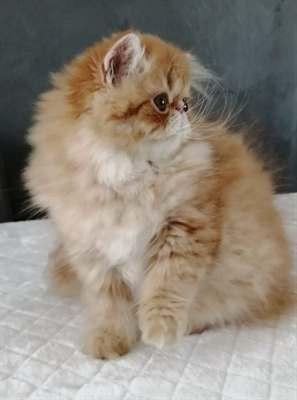 Cucciolo gatto persiano