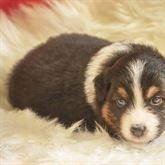 Bellissimi cuccioli Australian Shepherd, Pastore Australiano
