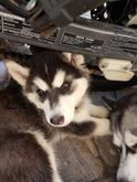 Cucciola Husky con sverminazione e
