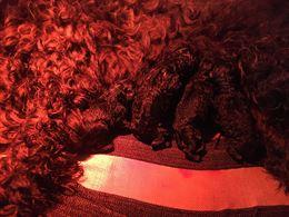 Cuccioli terrier Nero russo
