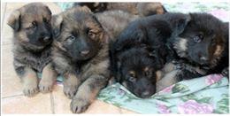 Regalo cuccioli di pastore tedesco grigione